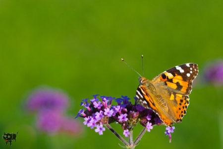 geszter: pillango