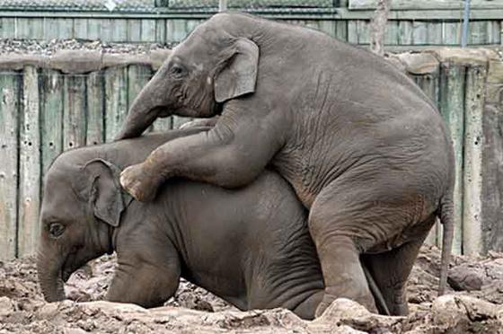 suckit: elephants
