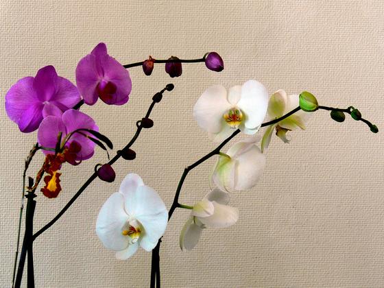 sysy: orchidea 116