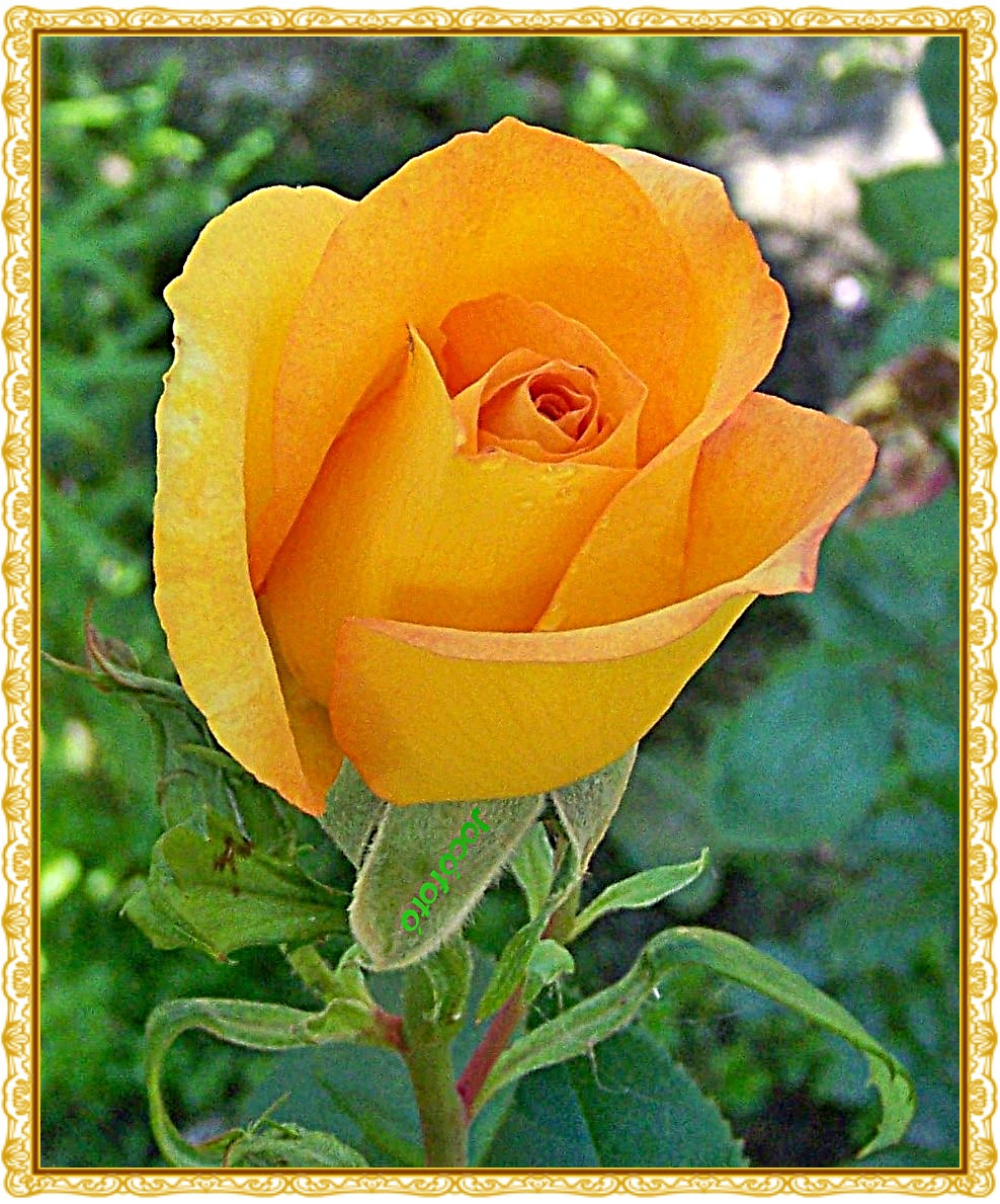 Rózsáim 7504