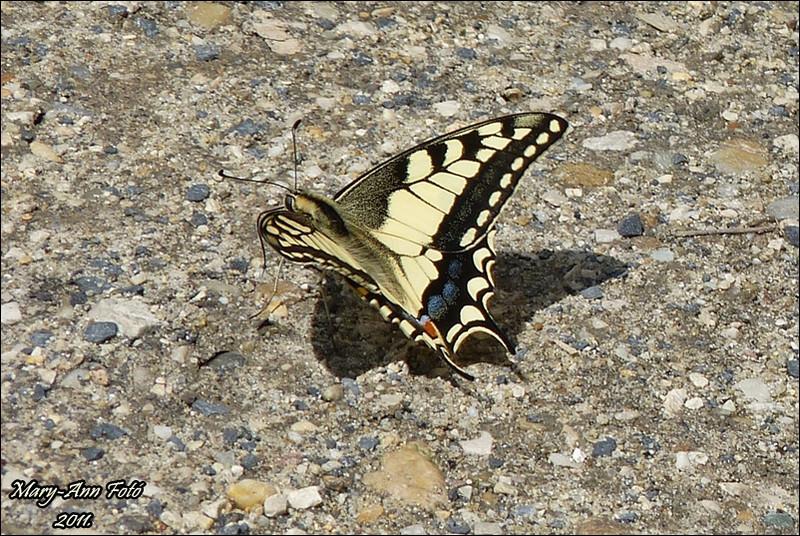 Komáromi erőd pillangója 07