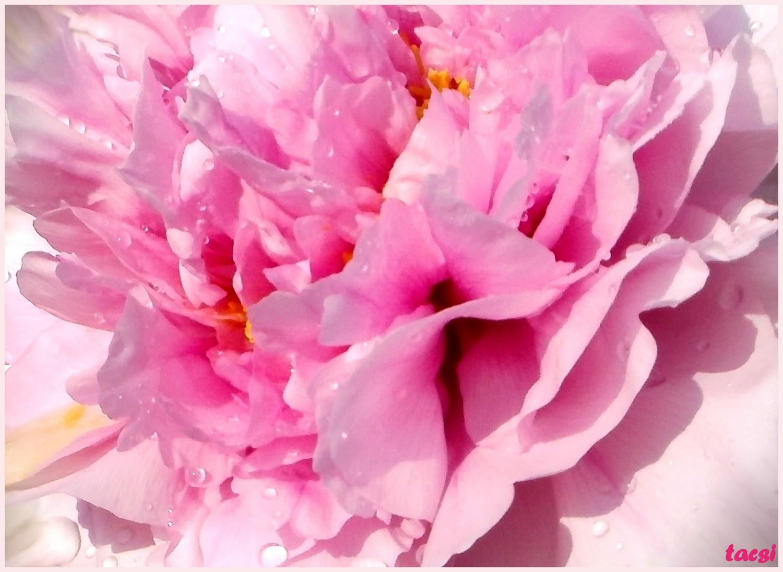 Pünkösdirózsafa virága
