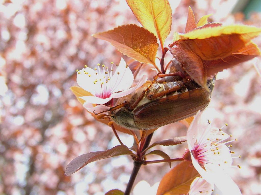 Tavaszi kártevő